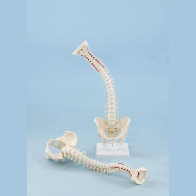 4009 Vertebral Column with Pelvis with Stand