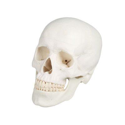 4500 Skull Model, 3 Parts