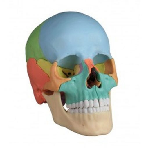 4708 Osteopathic Skull Model, 22 part, Didactical Version