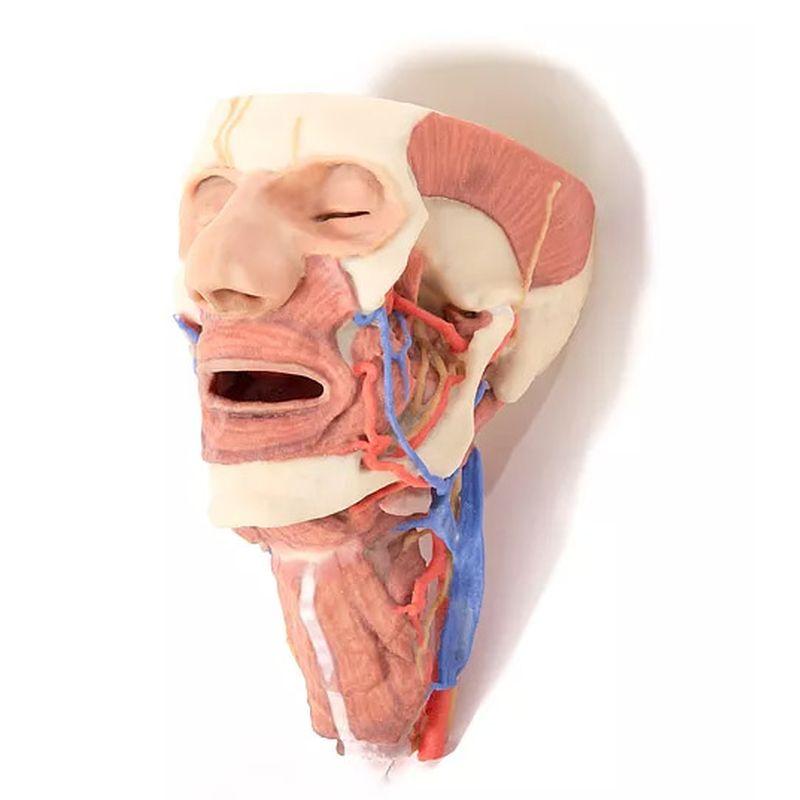 3D Printed Anatomical Models | Erler Zimmer 3D Anatomy Models ...