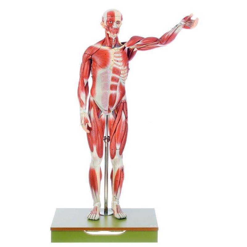 Muscle Anatomy Models Somso Muscular Figure Models Biomedical Models