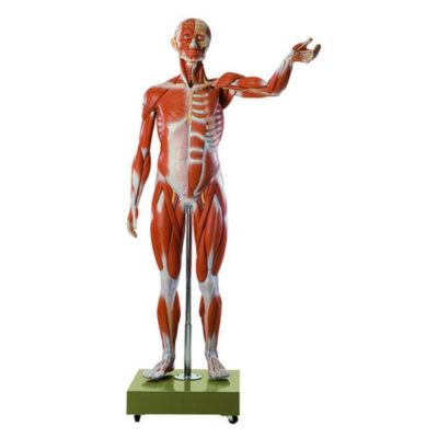 AS 2/2 Male Muscle Figure