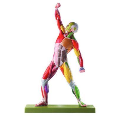 AS 3 AP/NR Male Muscle Figure