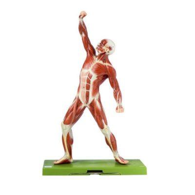 AS 3 Male Muscle Figure