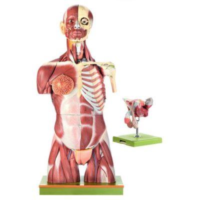 AS 6 Muscular Torso