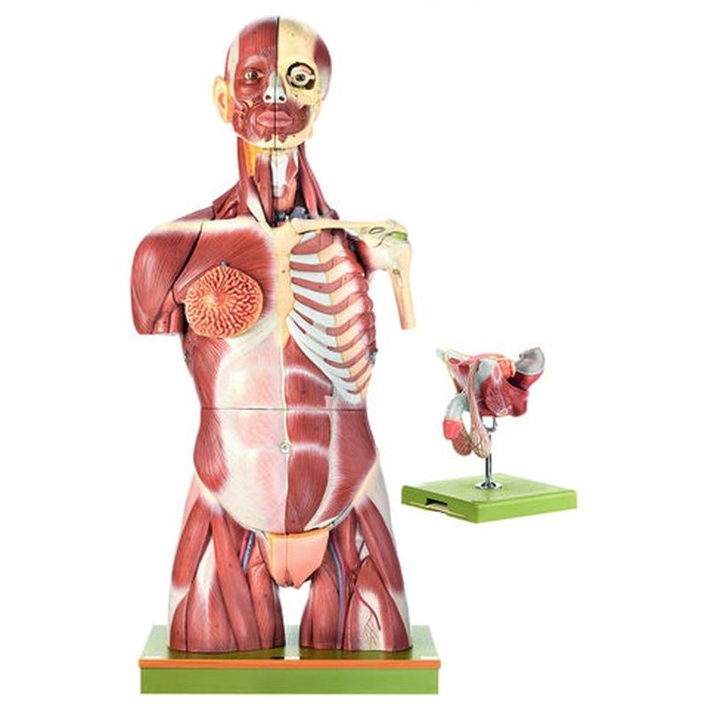 As 6 Muscular Torso With Interchangeable Male And Female Genitalia