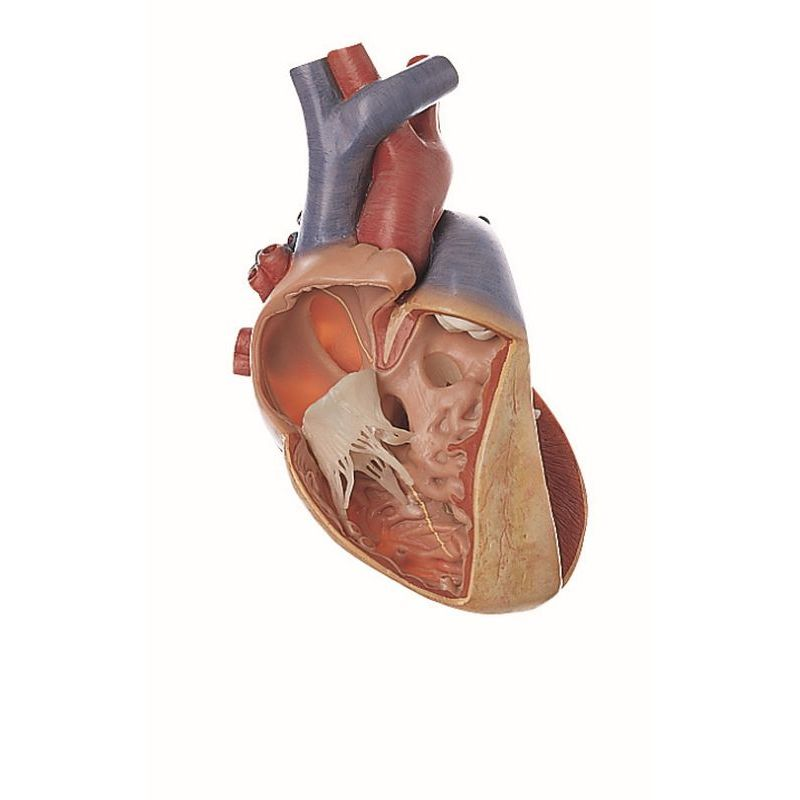 Hs 7 Lungs With Heart Diaphragm And Larynx Biomedical Models