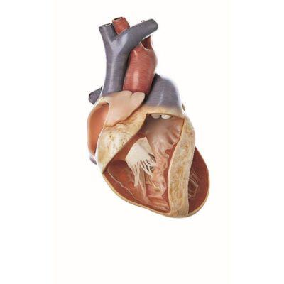 Circulatory Organs
