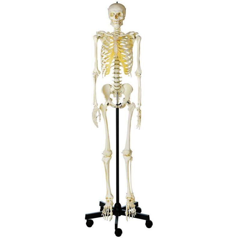 qs 10/1 artificial human skeleton, male   biomedical models, Skeleton