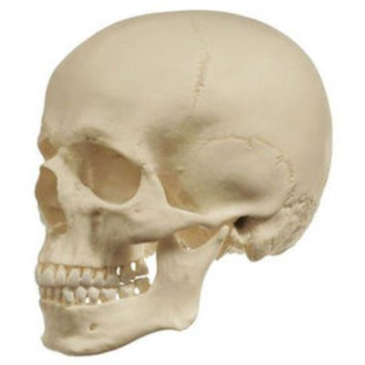 QS 1 Artificial Human Skull