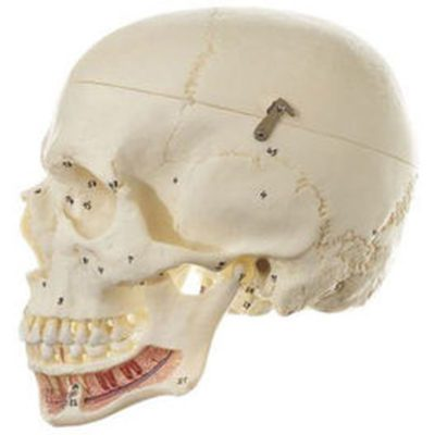 QS 2/1 Artificial Human Skull