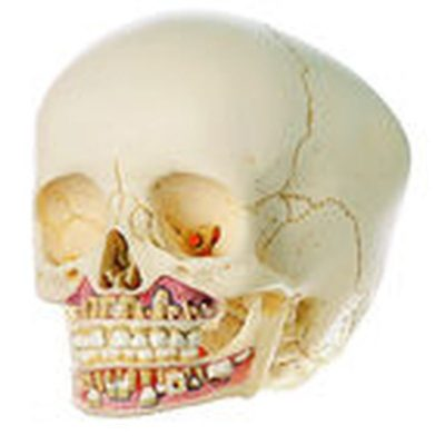 QS 3/2 Artificial Skull of Child