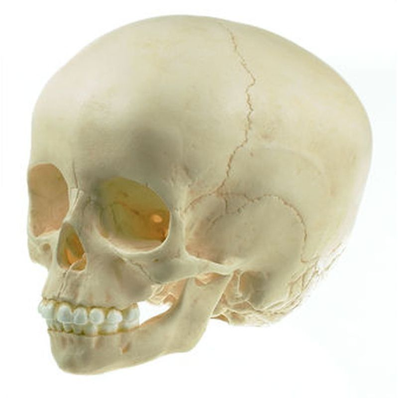 QS 3/2-E Artificial Skull of Child