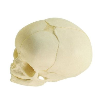 QS 3/3 Artificial Skull of a Fetus