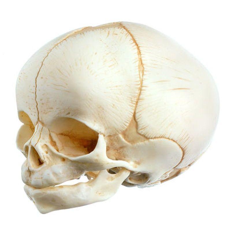 QS 3/E Artificial Skull of a Newborn