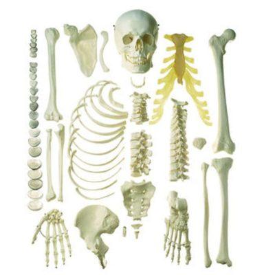 Bone Models