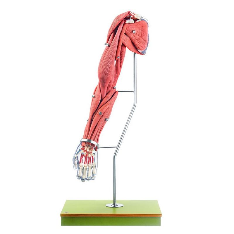 Qs 555 Model Of The Arm Muscles Biomedical Models