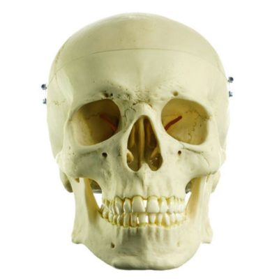 QS 7 Artificial Human Skull