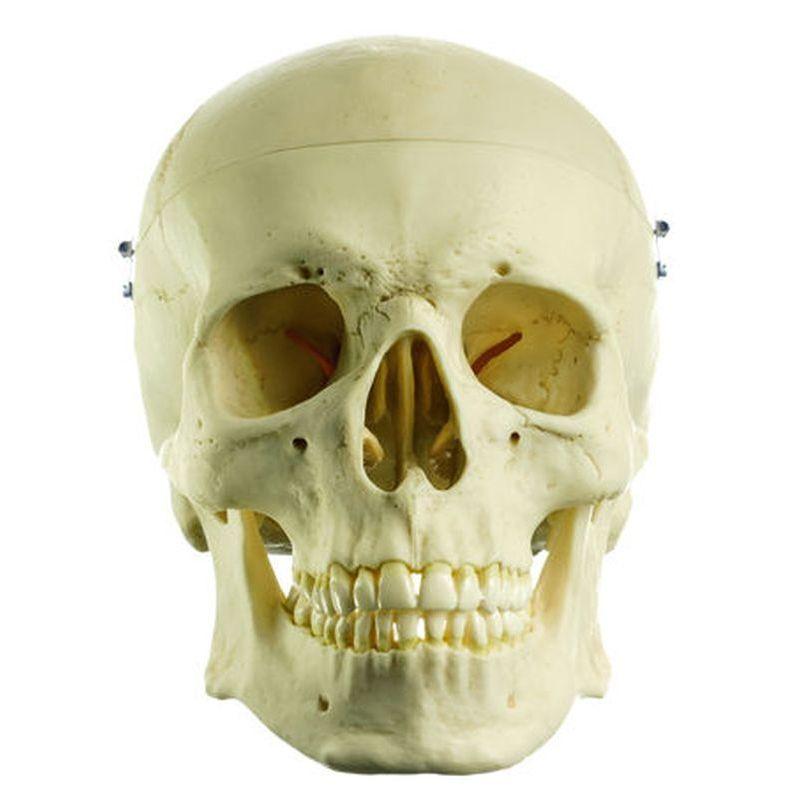 QS 7 Artificial Human Skull