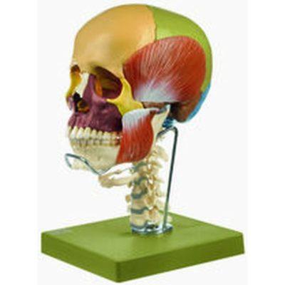 Anatomical Skeleton Model Artificial Anatomy Skull Model Somso