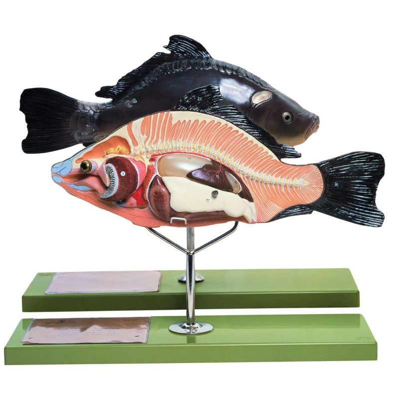 Zos 105 Model Of The Anatomy Of A Bony Fish Biomedical Models