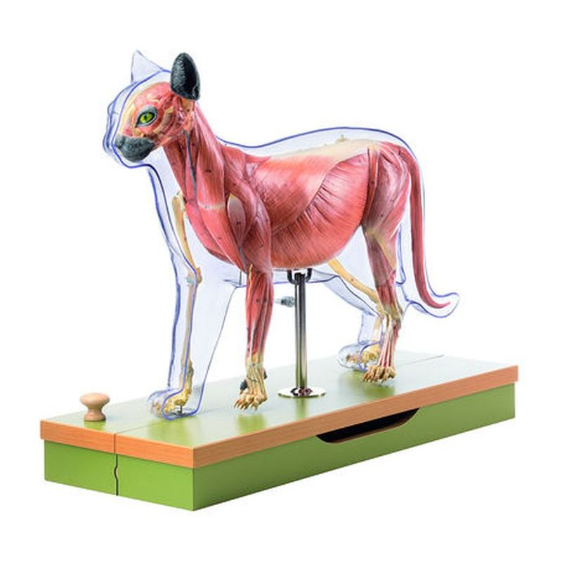 Animal Anatomy Models | Zoological Models | Veterinary Anatomy Models